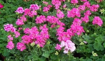 http://www.balkonovekvetiny.cz/kvetiny/muskaty-3.jpg