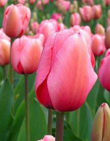 Tulipány pěstování