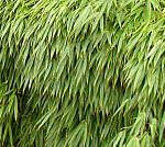 Převislý bambus