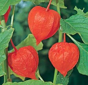 Plody mochyně
