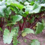 Červená řepa, pěstování
