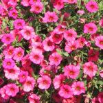Neobvyklé barvy petúnií