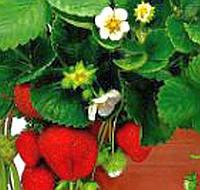 Balkonové jahody