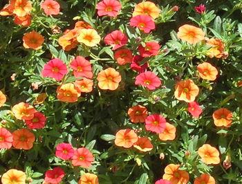 Calibrachoa - pěstování
