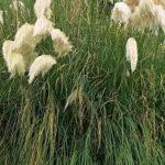 Pampová tráva - pěstování