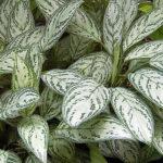 Aglaonema - pokojová rostlina