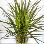 Dracéna - pokojová rostlina