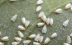 Molice - škůdce rostlin