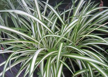 Zelenec - pokojová rostlina