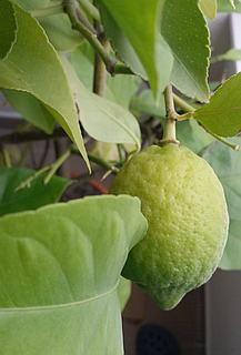 Sázení a přezimování citrusů
