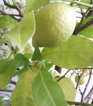 Chloróza - žloutnutí listů u citronu