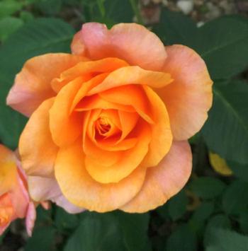 Kvetení růží