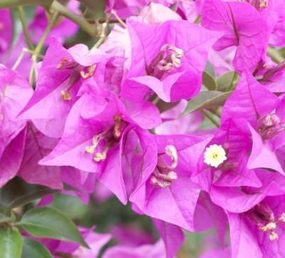Bougainvillea – hrnková rostlina