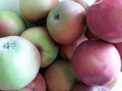 Kdy sklízet jablka na uskladnění
