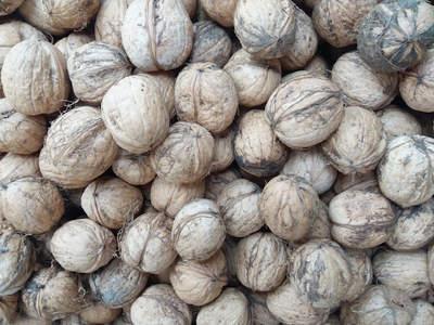 Sklízení vlašských ořechů