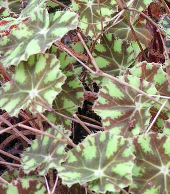 Begonia boweri
