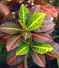 Kroton (Codiaeum variegatum)
