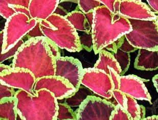 Coleus - pokojová rostlina