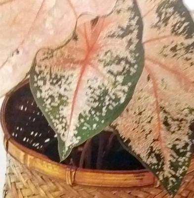Užovník (Caladium hortulanum) - pokojová rostlina