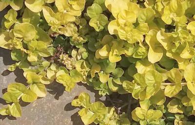 Vrbina (Lysimachia 'Goldilocks')