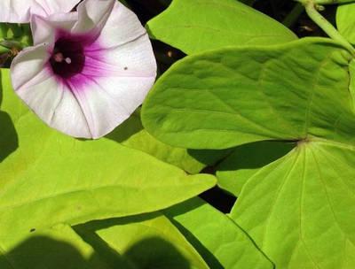 Aztécký břečťan (Ipomoea batatas)