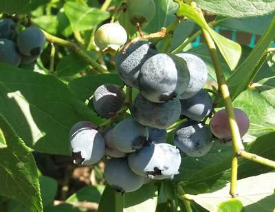 Odrůdy kanadských borůvek