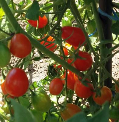 Pěstování cherry rajčat na balkóně