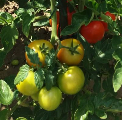 Rady pro pěstování keříčkových rajčat