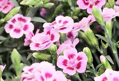 Pěstování karafiátů v květináči