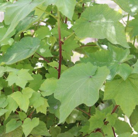 Pokojová rostlina Sparmannia africana