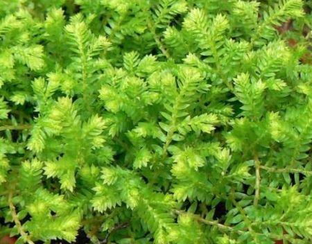 Pokojová rostlina vraneček (Selaginella)