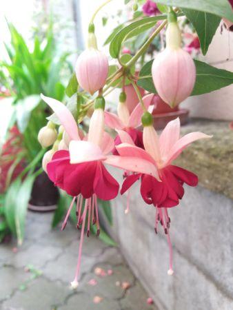Fuchsie - balkonové květiny do stínu
