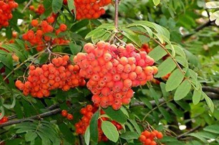 Jeřabina ptačí moravská (Sorbus aucuparia moravica)