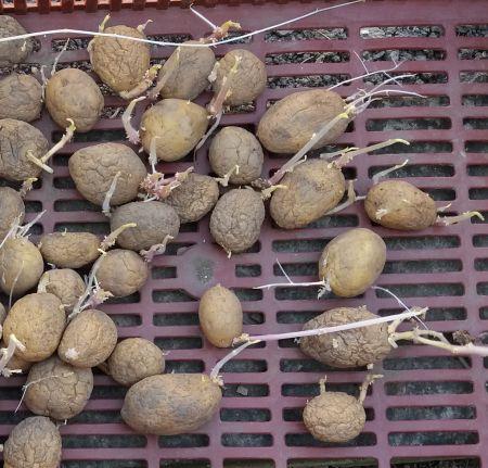 Naklíčené brambory pro sadbu