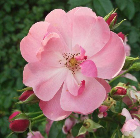 Růže jablečná (Rosa villosa L.)